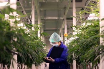 Lab worker inspects cannabis plants